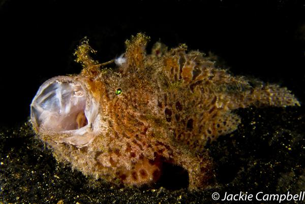 Lembeh Frogfish yawning, Indonesia