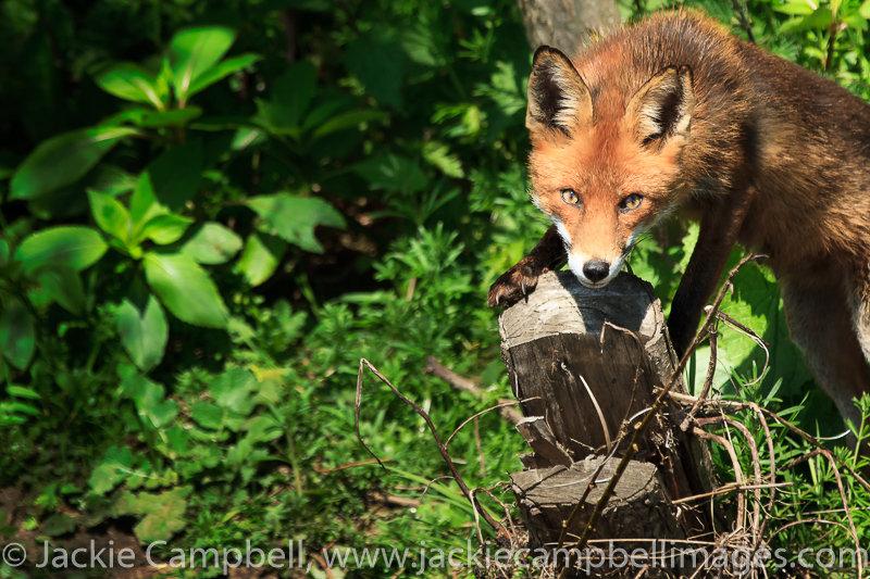 Fox on river bank