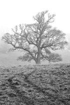 Oak in Mist