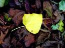 Yellow Ivy Leaf