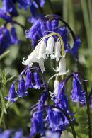 White Bluebell