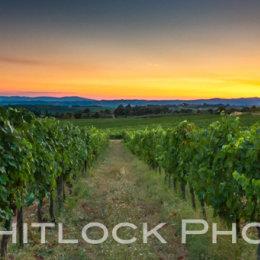 Tuscan Vineyard Panorama
