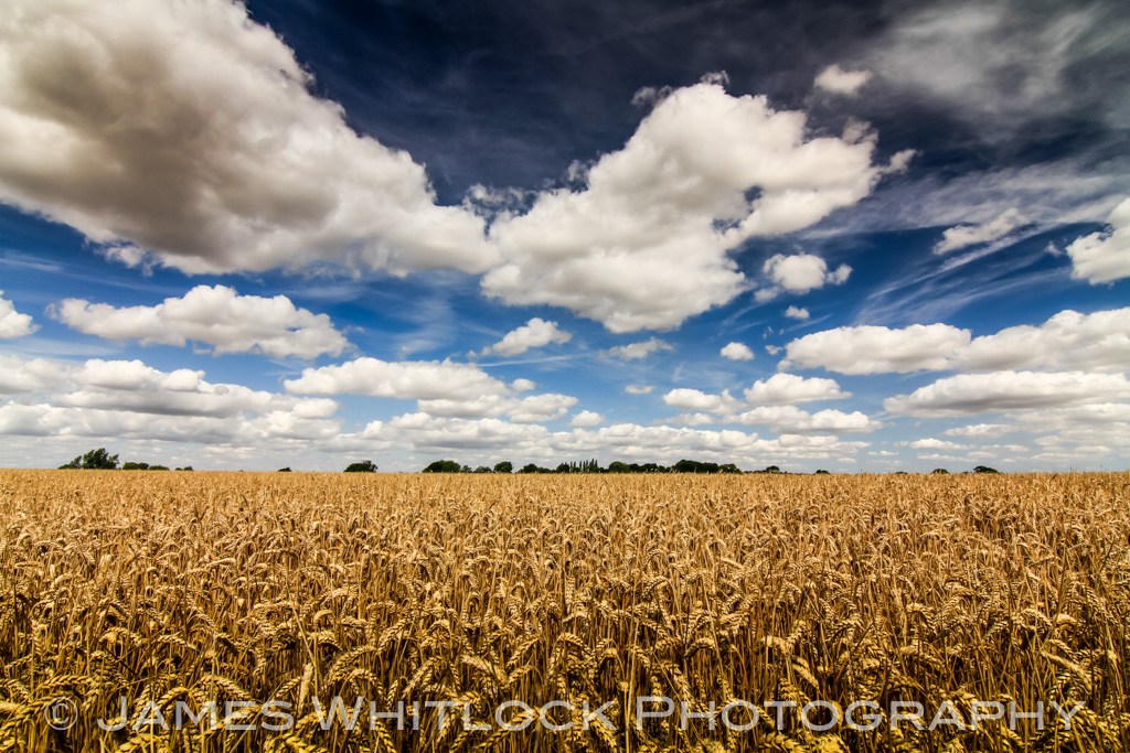 Wheat Field of Essex