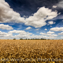 Wheat Field of Essex