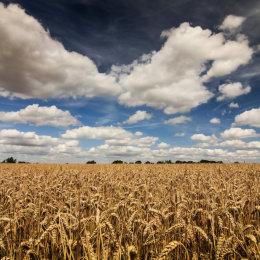 Wheat Field of Essex 2