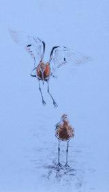 black tail godwits