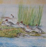pintail and teal