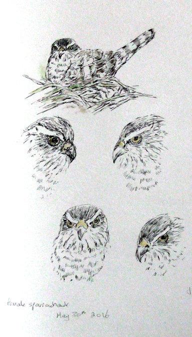 female sparrowhawk sketches
