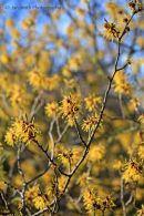 Hamamelis mollis in mid February