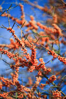 Extraordinary bright berries of the Hippophae