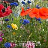 pretty wild flower meadow