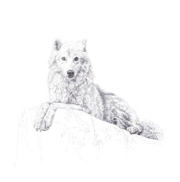 'Atka', 2013  Open Edition of Signed and Numbered Prints WCC.  £80