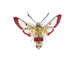 'BROAD BORDERED BEE MOTH', 2012 COLOUR BIROS PART OF DESIGN FOR 'THE BRITISH MOTH THROW'