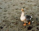 Greylag Goose at Bray, Ireland