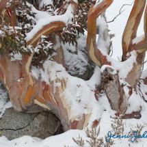 Snow Gums 1, Charlotte Pass