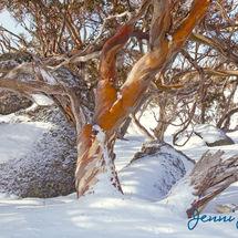 Snow Gums 1, Perisher Valley