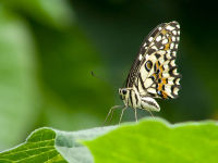 Common Lime (Papilio demoleus)