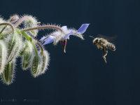 Borage bee