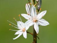 White Asphodel / Witte affodil (Asphodelus albus)