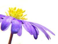 Wood Anemone / Bosanemoon (Anemone nemorosa)