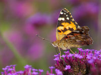 Painted Lady / Distelvlinder (Vanessa cardui)