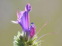 Purple Viper's-bugloss/ Weegbreeslangenkruid (Echium plantagineum)