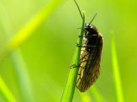 Alderfly / Elzenvlieg (Sialis lutaria)