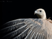 Griffon vulture (Gyps fulvus) / Vale gier
