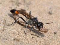 Sand digger wasp / Grote rupsendoder (Ammophila sabulosa)