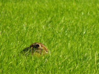 European Hare / Haas (Lepus europaeus)