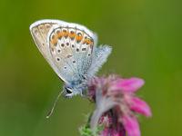 Silver-studded Blue / Heideblauwtje (Plebejus argus)