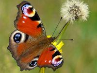 Peacock butterfly / Dagpauwoog (Inachis io)