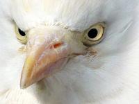 Cattle egret / Koereiger (Bubulcus ibis)