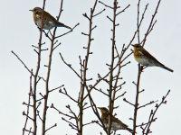 Fieldfares / Kramsvogels (Turdus pilaris)