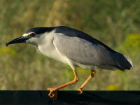 Black-crowned night heron / Kwak (Nycticorax nycticorax)