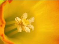 Daffodil / Narcis (Narcissus spec.)