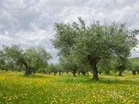 Olive grove at Almaraz / Olijfboomgaard bij Almaraz