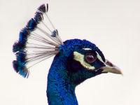 Peacock portrait / Pauw (Pavo cristatus)