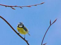 Blue tit / Pimpelmees (Parus caeruleus)