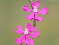 Pink catchfly (Silene colorata)