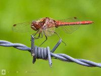 Vagrant darter / Steenrode heidelibel (Sympetrum vulgatum)