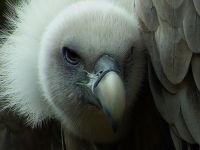 Griffon vulture / Vale gier (Gyps fulvus)