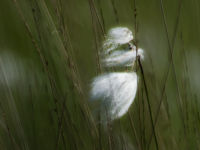 Common Bog Cotton / Veenpluis (Eriophorum angustifolium)