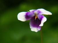 Viola spec.