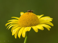 LIttle fly on big yellow flower