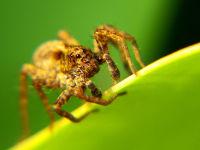 Wolf spider / Wolfspin (Pardosa spec.)