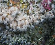 White Cluster Anemones-Parazoanthus anguicomus