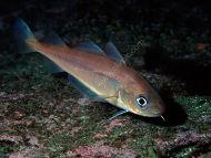 Poor Cod - Trisopterus minutus