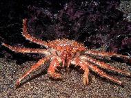 Northern Stone Crab - Lithodes maja