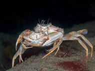 Swimming Crabs Clasping